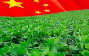 Китайские соевые бобы