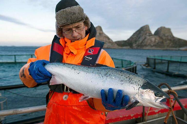 Русские лососи пошли в последний и решительный бой и оккупировали водоемы Норвегии