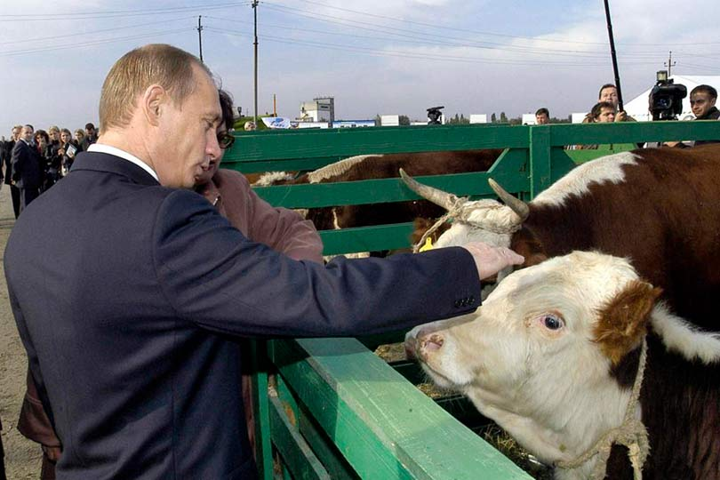 Путин гладит корову