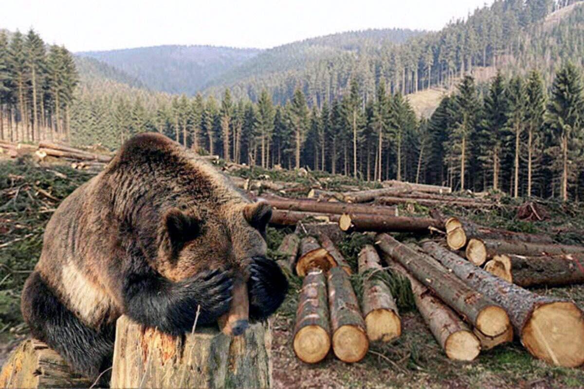 Медведь в Сибирской тайге