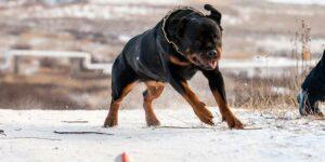 В Туве собаки насмерть загрызли женщину, которая скончалась в больнице