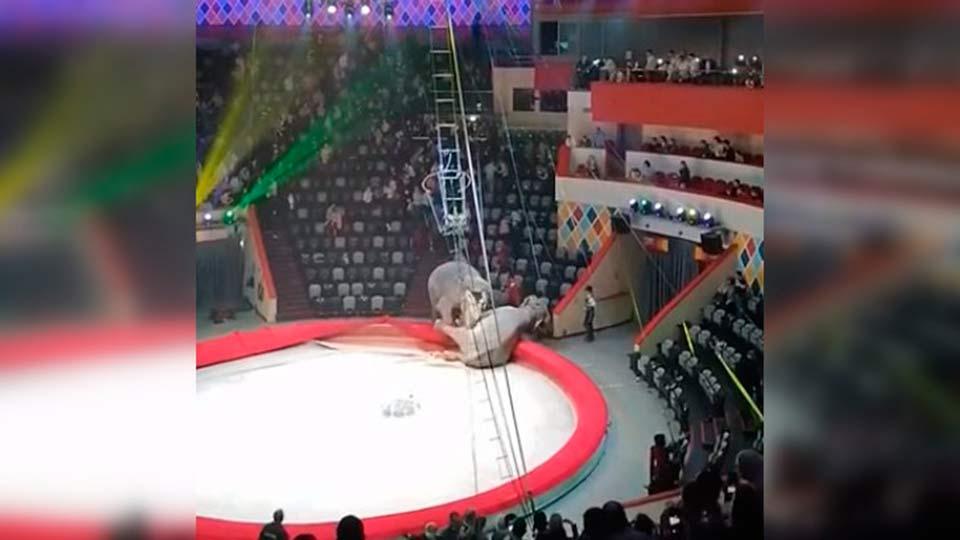 Драка слонов в цирке Казани