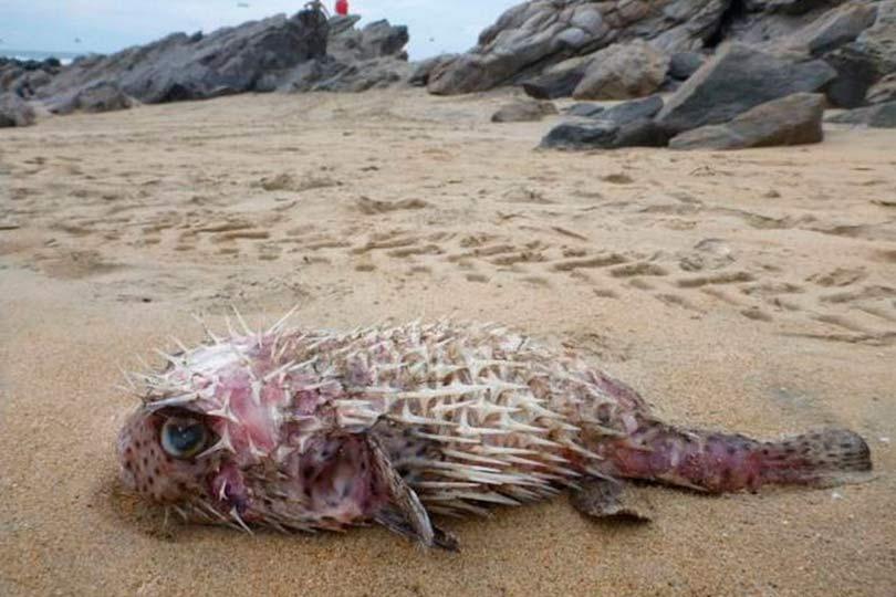 Рыба фуга на берегу