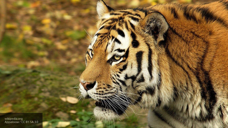 В Приморье угостили колбасой амурского тигра, что в дальнейшем может привести к трагедии