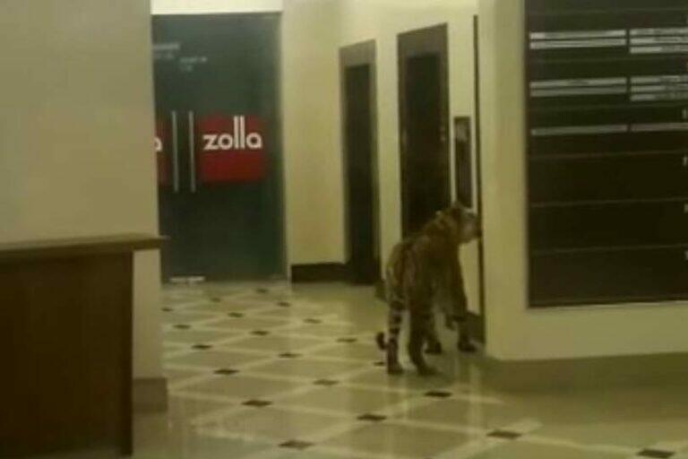 В США по городам разгуливают тигры, одного нашли в Хьюстоне