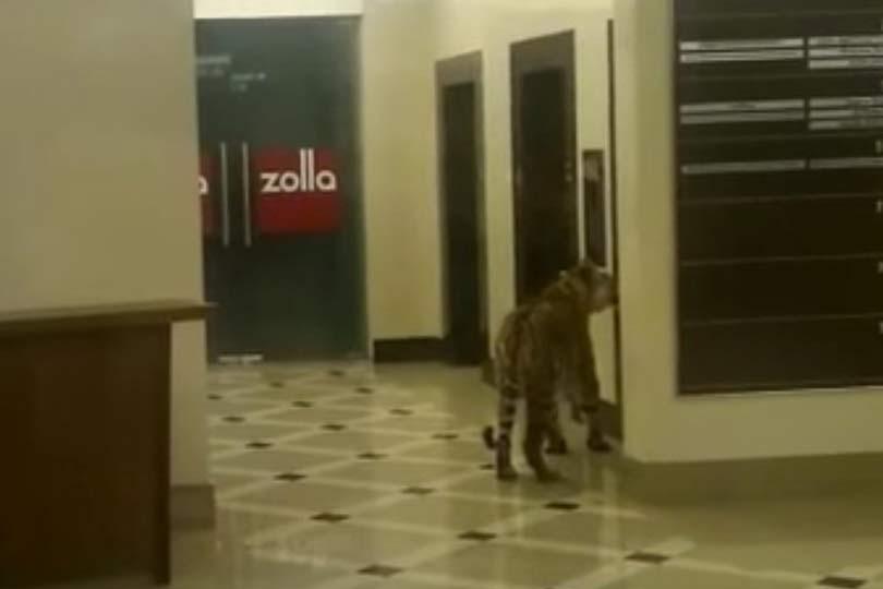 Тигры в США