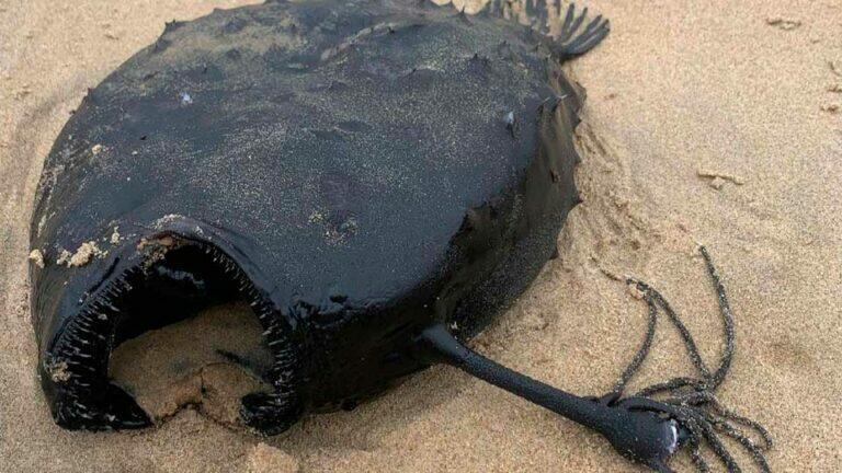 Страшный морской черт выброшен на пляж в Калифорнии