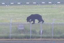 Дикий медведь проник на военную базу Японии Окадама