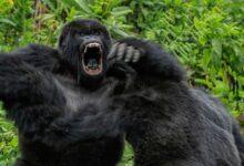 Впервые в истории наблюдений, шимпанзе совершили нападение на горилл и убили детеныша